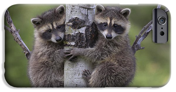 Couple iPhone Cases - Raccoon Two Babies Climbing Tree North iPhone Case by Tim Fitzharris