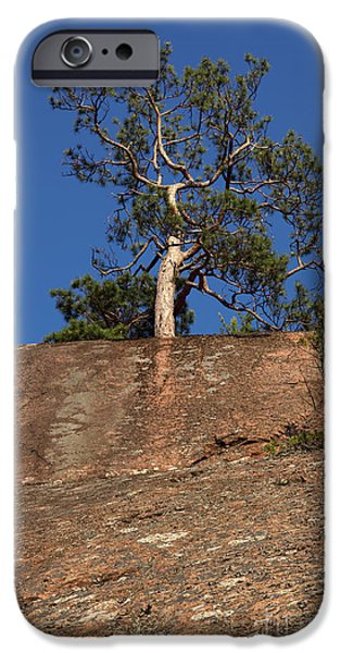 Harsh Conditions iPhone Cases - Red Pine Tree iPhone Case by Ted Kinsman
