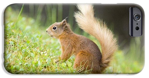 Bushy Tail iPhone Cases - Red Squirrel Feeding iPhone Case by Duncan Shaw
