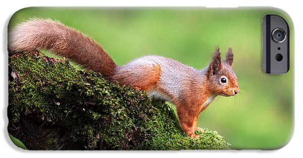 Bushy Tail iPhone Cases - Red Squirrel iPhone Case by Grant Glendinning