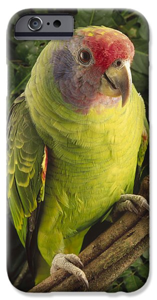 Forest iPhone Cases - Red-tailed Amazon Amazona Brasiliensis iPhone Case by Claus Meyer