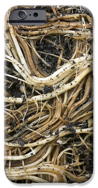Tree Roots iPhone Cases - Roots Of A Pot-bound Buddleja Plant iPhone Case by Dr Jeremy Burgess