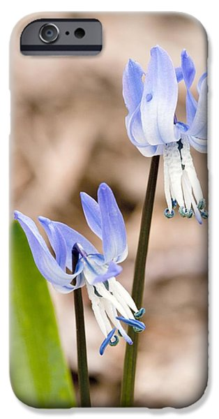Rosen iPhone Cases - Rosens Squill (scilla Rosenii) iPhone Case by Bob Gibbons