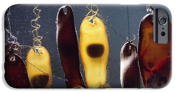 Fish Photographs iPhone Cases - Swell Shark Egg Cases Aka Mermaids iPhone Case by Flip Nicklin
