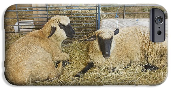 Grazing Sheep iPhone Cases - Two Black Faced Sheep In Barn Maine iPhone Case by Keith Webber Jr