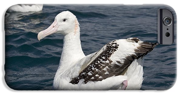Sea Birds iPhone Cases - Wandering Albatross iPhone Case by Bob Gibbons