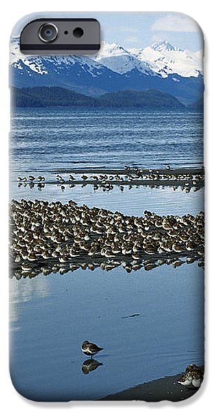 Western Sandpiper Calidris Mauri Flock iPhone Case by Michael Quinton