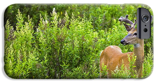 Killarney Provincial Park iPhone Cases - Whitetail Deer In Meadow, Killarney iPhone Case by Mike Grandmailson