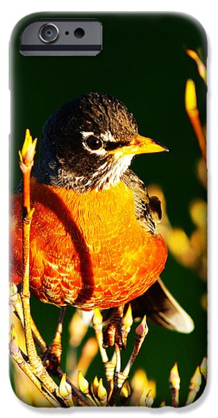 American Robin iPhone Case by Paul Ge