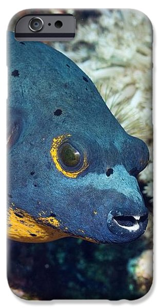 Blackspotted Puffer iPhone Case by Georgette Douwma