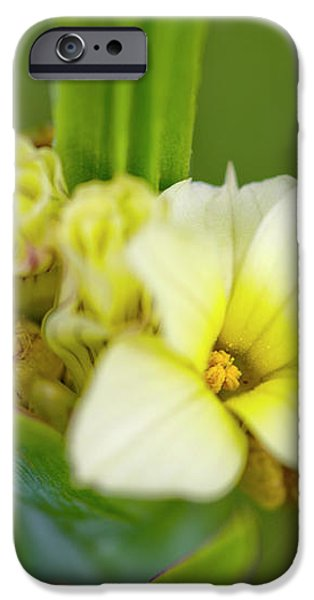 Blue-eyed Grass (sisyrinchium Striatum) iPhone Case by Dr Keith Wheeler