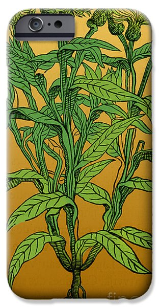 Centaurea Montana, Bachelors Button iPhone Case by Science Source
