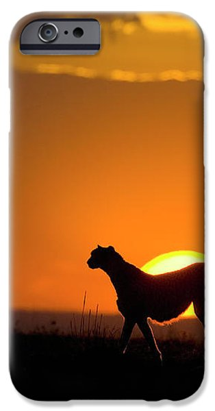 Cheetah Acinonyx Jubatus Female iPhone Case by Suzi Eszterhas