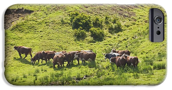 New England Dairy Farms iPhone Cases - Cows Grazing On Grass In Farm Field Summer Maine iPhone Case by Keith Webber Jr