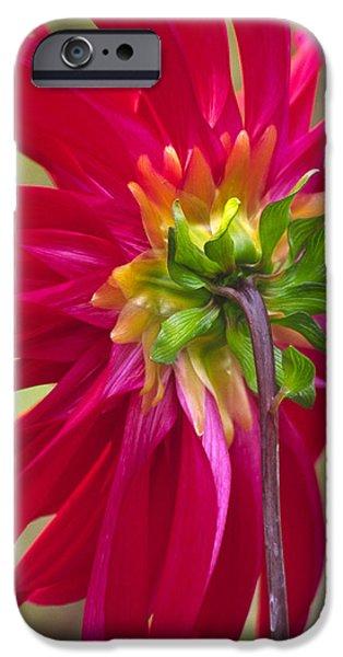Dahlia (dahlia Cultorum) iPhone Case by Dr. Nick Kurzenko