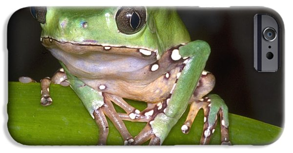 Frogs Photographs iPhone Cases - Giant Monkey Frog iPhone Case by Dante Fenolio