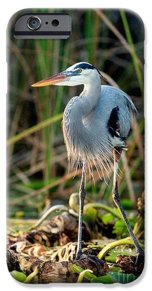 Great Blue Heron iPhone Case by Matt Suess