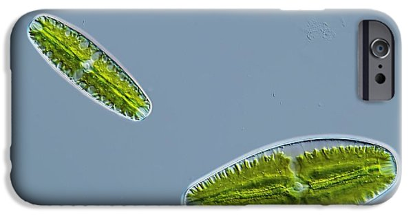 Desmid iPhone Cases - Green Alga, Light Micrograph iPhone Case by Gerd Guenther