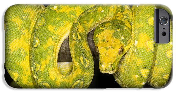 Burmese Python iPhone Cases - Green Tree Python iPhone Case by Dante Fenolio