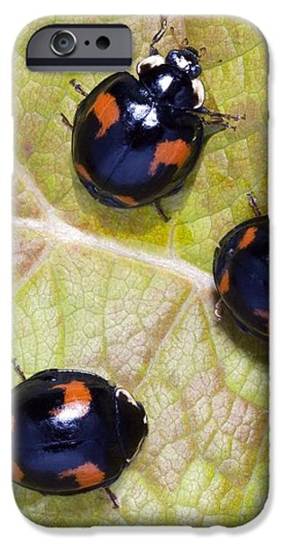 Harlequin Ladybirds iPhone Case by Sheila Terry