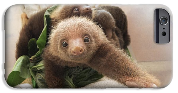 Sloth iPhone Cases - Hoffmanns Two-toed Sloth Choloepus iPhone Case by Suzi Eszterhas