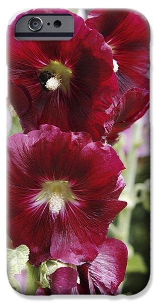 Althea iPhone Cases - Hollyhock (alcea Rosea) iPhone Case by Dr Keith Wheeler
