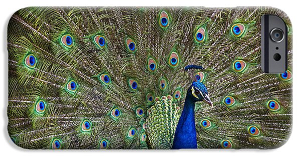 Gamebird iPhone Cases - Indian Peafowl Male With Tail Fanned iPhone Case by Tim Fitzharris