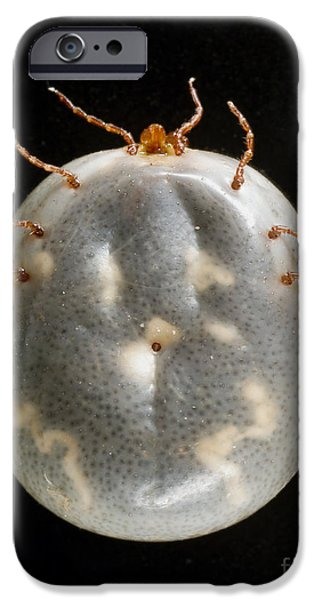 Staris iPhone Cases - Lone Star Tick iPhone Case by Science Source