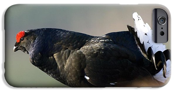 Gamebird iPhone Cases - Male Black Grouse Displaying iPhone Case by Duncan Shaw