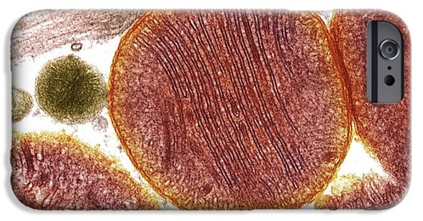 Atp Photographs iPhone Cases - Mitochondria iPhone Case by Steve Gschmeissner