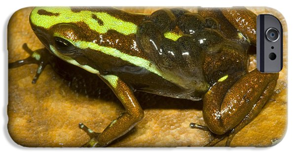 Parental Care iPhone Cases - Poison Frog With Eggs iPhone Case by Dante Fenolio