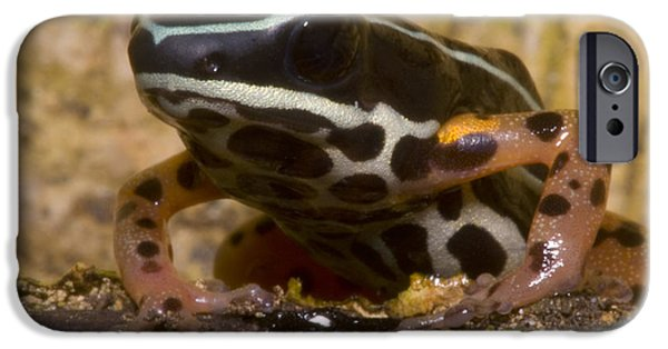 Frogs Photographs iPhone Cases - Rio Madeira Poison Frog iPhone Case by Dante Fenolio