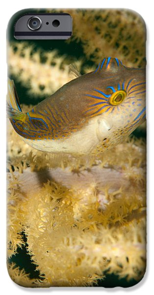 Porcupine Fish iPhone Cases - Puffer Acrobatics iPhone Case by Jean Noren