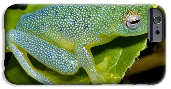 Anurans iPhone Cases - Spiny Glass Frog iPhone Case by Dante Fenolio