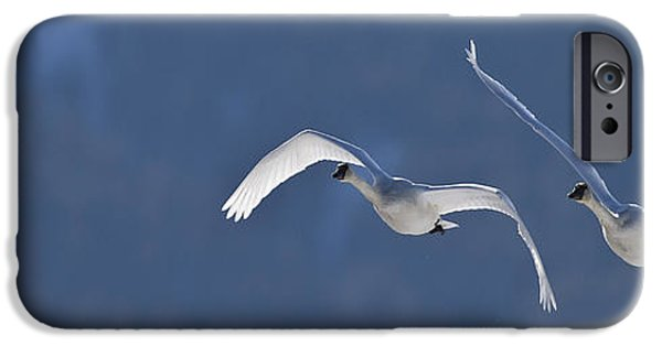 Swans... iPhone Cases - Swans Flying In Formation, Yukon iPhone Case by Robert Postma