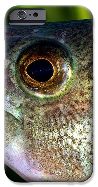 Yellow Perch Perca Flavescens iPhone Case by Ted Kinsman