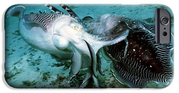 Aquatic Display iPhone Cases - Broadclub Cuttlefish iPhone Case by Georgette Douwma