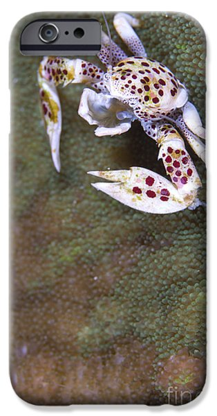 Spotted Porcelain Crab Feeding iPhone Case by Steve Jones
