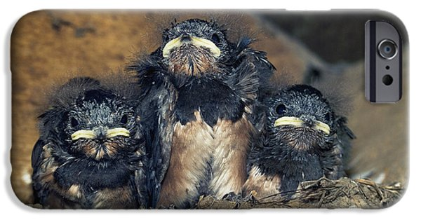 Hirundo iPhone Cases - Swallow Chicks iPhone Case by Georgette Douwma
