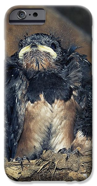 Swallow Chicks iPhone Case by Georgette Douwma