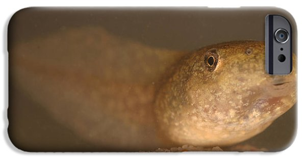 Amphibians Photographs iPhone Cases - Bullfrog Tadpole iPhone Case by Ted Kinsman