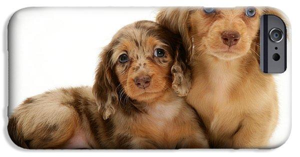 Dachshund Puppy iPhone Cases - Dachshund Pups iPhone Case by Jane Burton