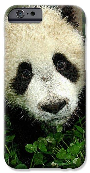 Giant Panda Ailuropoda Melanoleuca iPhone Case by Katherine Feng