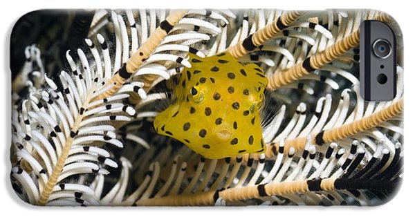 Fauna iPhone Cases - Yellow Boxfish iPhone Case by Georgette Douwma