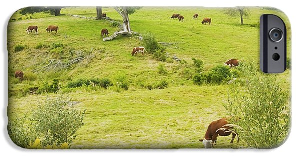 Barbed Wire Fences iPhone Cases - Cows Grazing On Grass In Farm Field Summer Maine iPhone Case by Keith Webber Jr