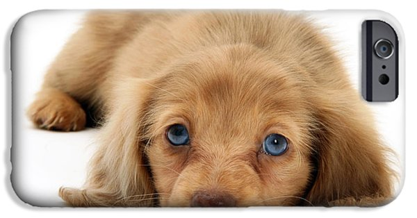 Dachshund Puppy iPhone Cases - Dachshund Pup iPhone Case by Jane Burton