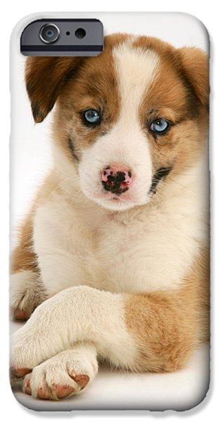 Border Collie Puppy iPhone Case by Jane Burton
