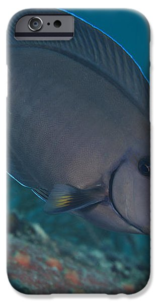A Blue Tang Surgeonfish, Key Largo iPhone Case by Terry Moore
