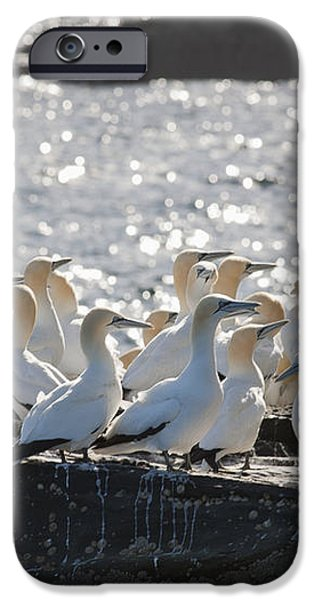 A Flock Of Gannets Standing On A Rock iPhone Case by John Short