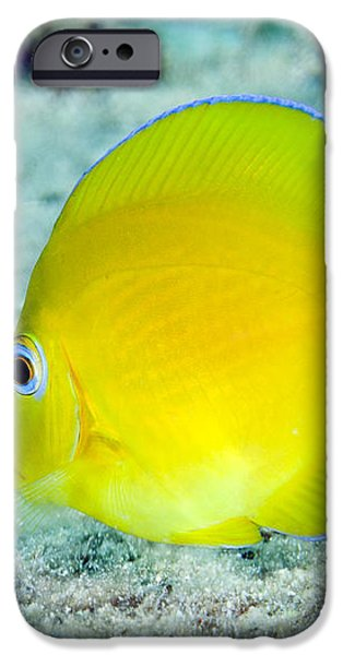 A Juvenile Blue Tang Searching iPhone Case by Terry Moore